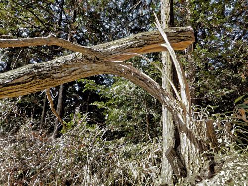 受け口を切らないと木が裂ける