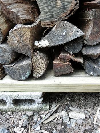 薪に生えてきたキノコ