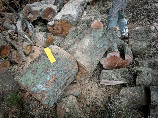 アカガシの大木を切った所