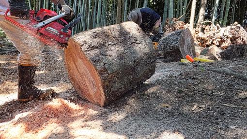 アカガシの木を縦に切る