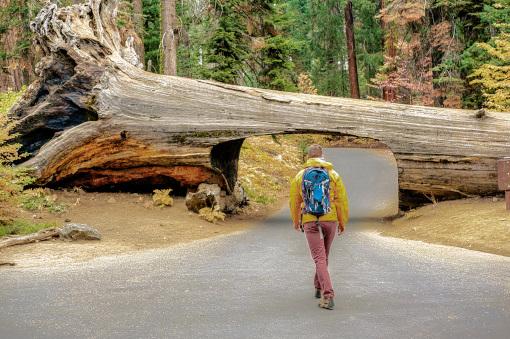 大きな倒木のトンネル