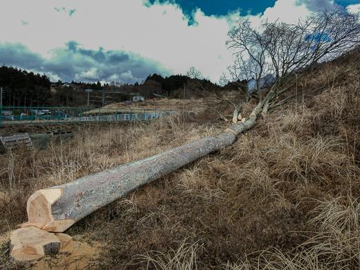 切り倒されたケヤキの大木