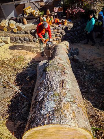 ケヤキの大木を切る人と見守る人