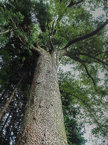下からケヤキの高木を見上げる