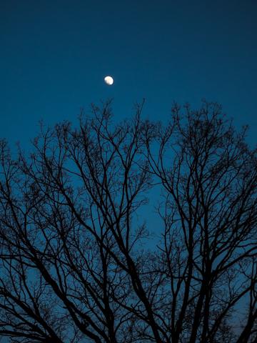 月に手をのばす様なケヤキの枝