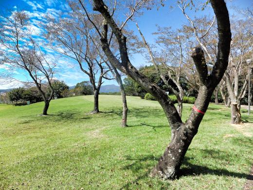 伐採される予定のサクラの木