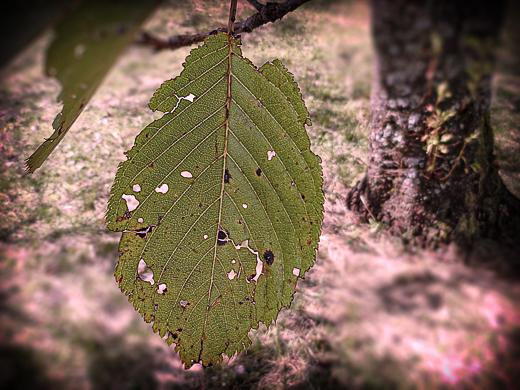 虫が食ったサクラの葉