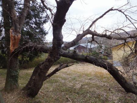 折れた桜の木